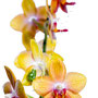 Orchidee Nr.0656