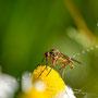 Insekten Nr.0421