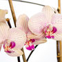 Orchidee Nr.0648