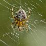 Spinne Nr.0468