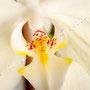 Orchidee Nr.0633