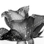 Rose 239