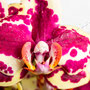Orchidee Nr.0624