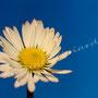 Blume Nr.0366