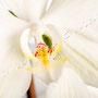 Orchidee Nr.0632