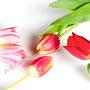 Tulpe Nr.0041