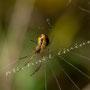 Spinne Nr.0395