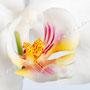 Orchidee Nr.0604
