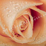 Rosenblüten-Blätter Nr.0556