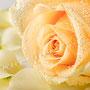 Rosenblüten-Blätter Nr.0383