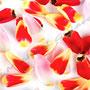 Tulpe Nr.0045