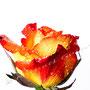 Rose 224