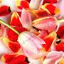 Tulpe Nr.0048