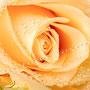Rosenblüten-Blätter Nr.0388
