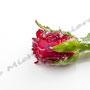 Vereiste-Rose Nr.0035