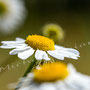 Blüten-Allgemein Nr.0445