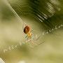 Spinne Nr.0465