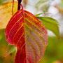 Herbstblatt Nr.0057