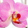 Orchidee Nr.0659