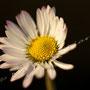 Blume Nr.0364
