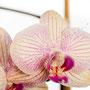 Orchidee Nr.0649