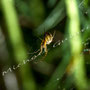 Spinne Nr.0396