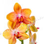 Orchidee Nr.0650