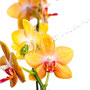 Orchidee Nr.0655