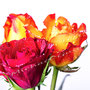 Rose 236