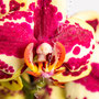 Orchidee Nr.0623