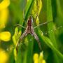 Spinne Nr.0426