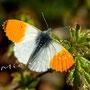 Schmetterling Nr.0405
