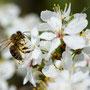 Biene in Kirschblüte 276