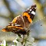 Schmetterling Nr.0398