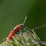 Käfer Nr. 0415