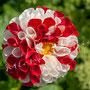 Blüten-Allgemein Nr.0576