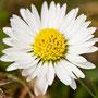 Blume Nr.0184