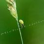 Grüne Stinkwanze Nr. 0440