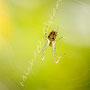 Spinne Nr.0464