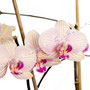 Orchidee Nr.0647