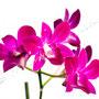 Orchidee Nr.0636