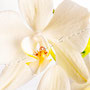 Orchidee Nr.0628