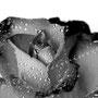 Rose 217