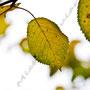 Herbstblatt Nr.0069