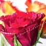 Rose 234