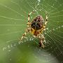 Spinne Nr.0467