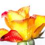 Rose 238