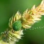 Grüne Stinkwanze Nr. 0439