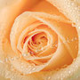 Rosenblüten-Blätter Nr.0378