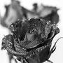 Rose 233